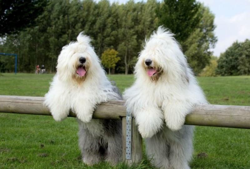 Бобтейлы - милые псы
