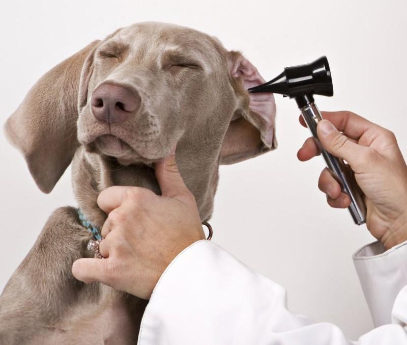 ушные болезни у собак