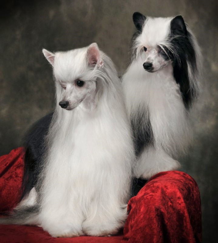 Китайские хохлатые собаки — пуховая разновидность
