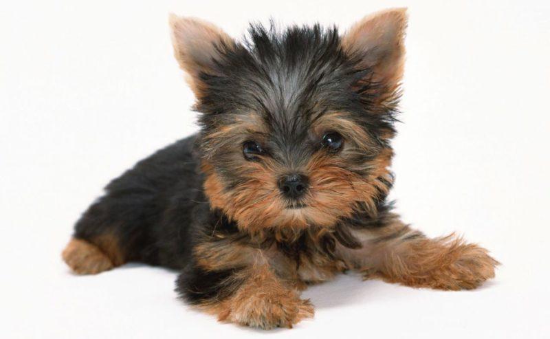 милый щенок йоркширского терьера