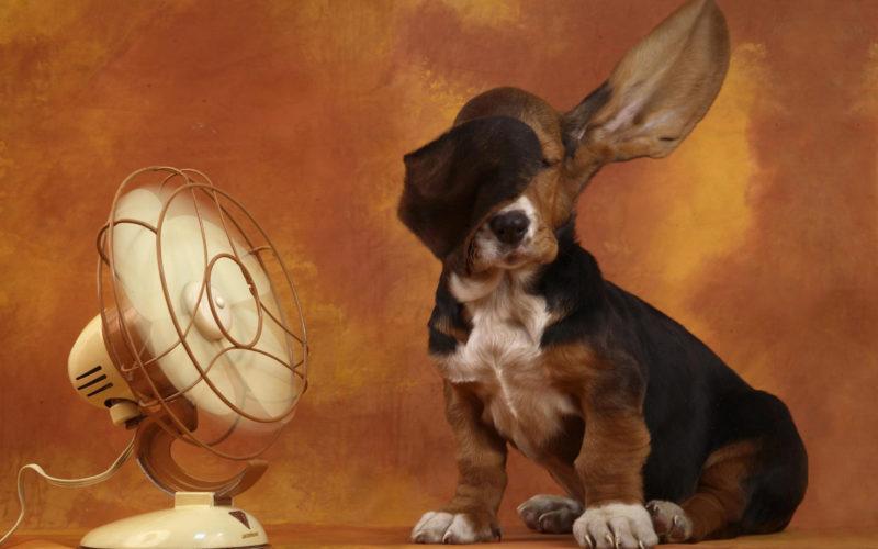 бассет-хаунд и вентилятор
