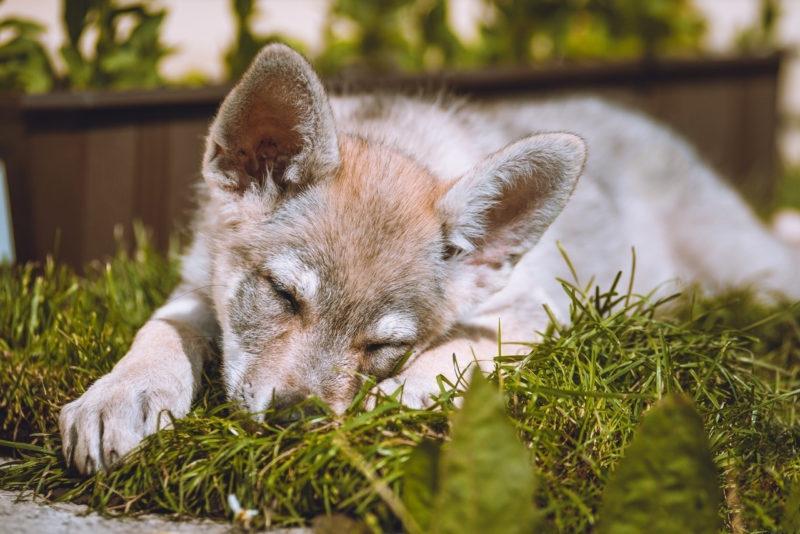 щенок влчака