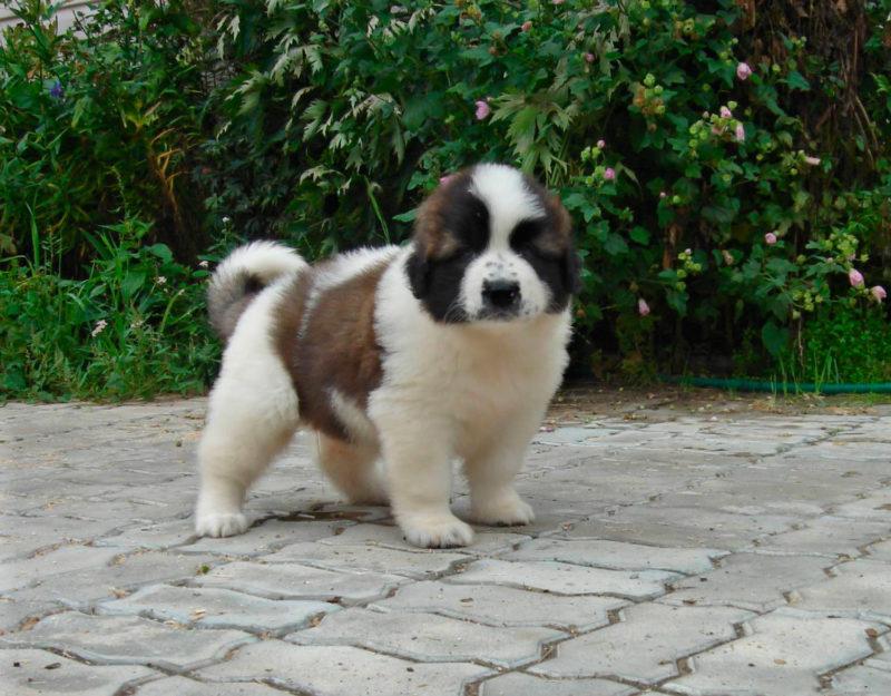 щенок московской сторожевой собаки