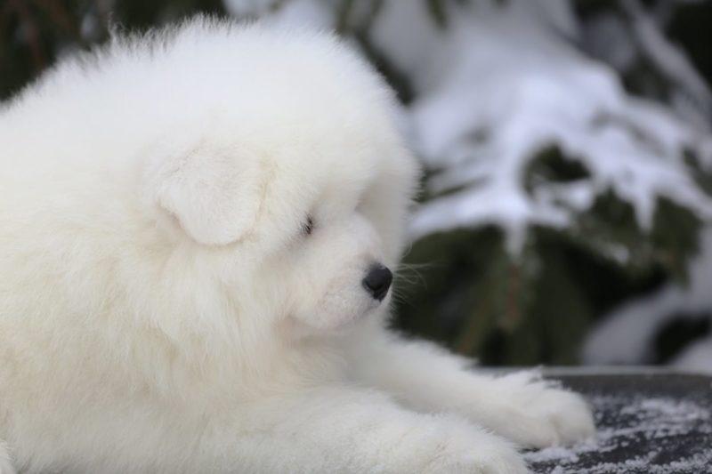 самоедская лайка: пушистый щенок