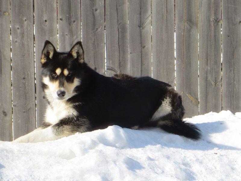 восточно-сибирская лайка лежит на снегу