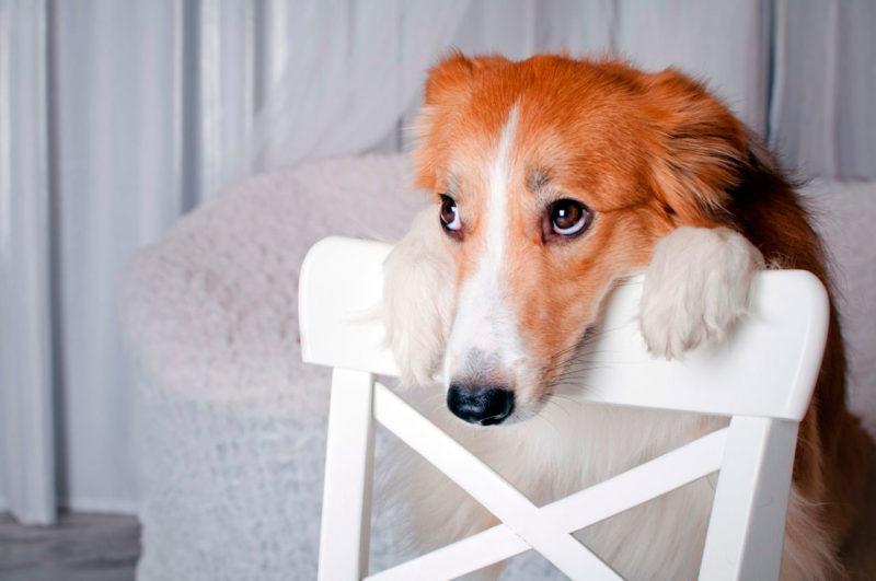 собака положила голову на спинку стула