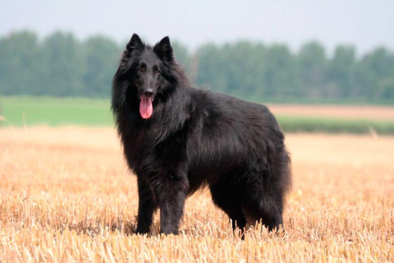 Бельгийская овчарка Грюнендаль в поле