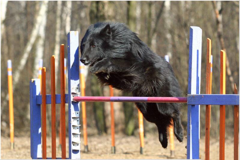 Бельгийская овчарка Грюнендаль прыгает через препятствие