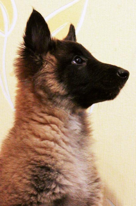 щенок бельгийской овчарки Тервюрен