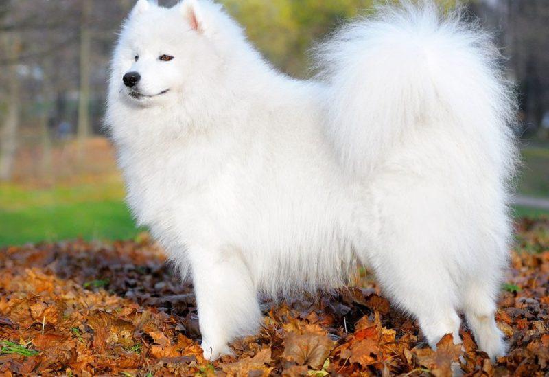 Самоедская лайка - белая пушистая собака