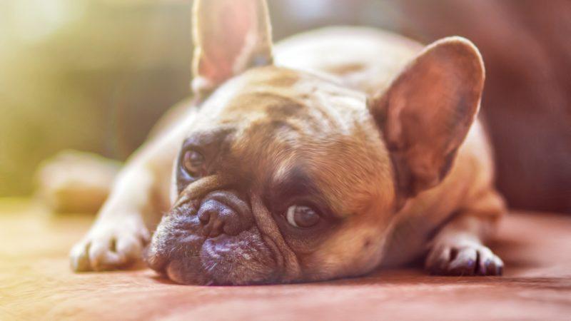 Вялость собаки