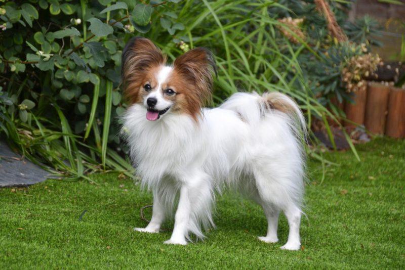 собака-папильон