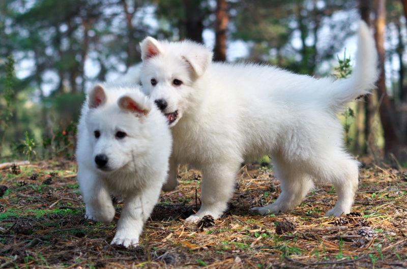 как выбрать щенка швейцарской белой овчарки