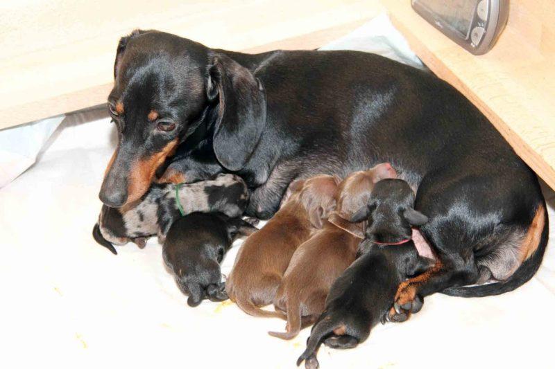 собака рожает
