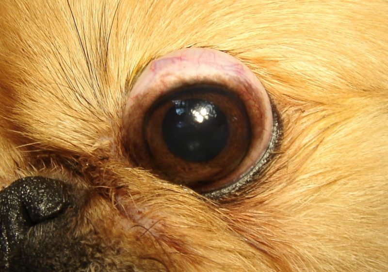 выпадение глазного яблока