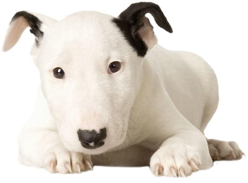 bull terrier2