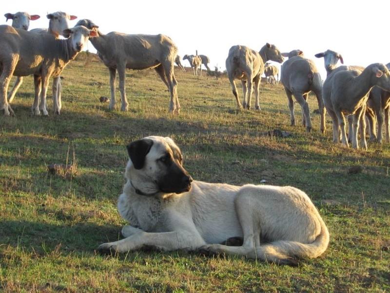 Анатолийская овчарка