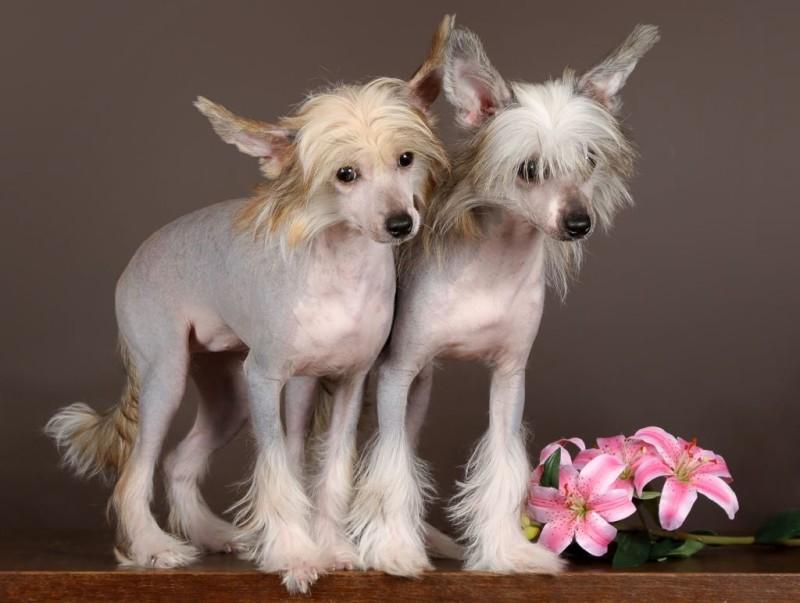Китайские хохлатые собаки