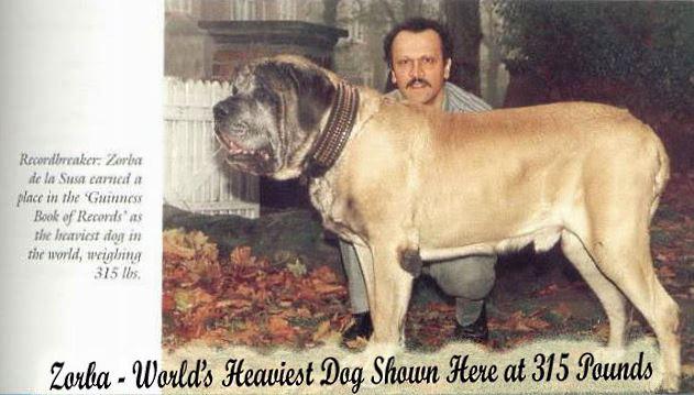 Английский мастиф Айкама Зорба — самая тяжёлая собака