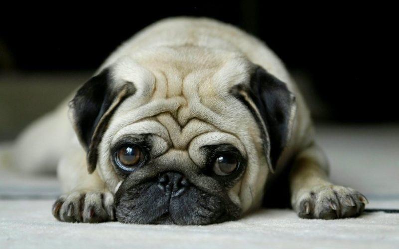 Уход за Мопсами - Породы собак