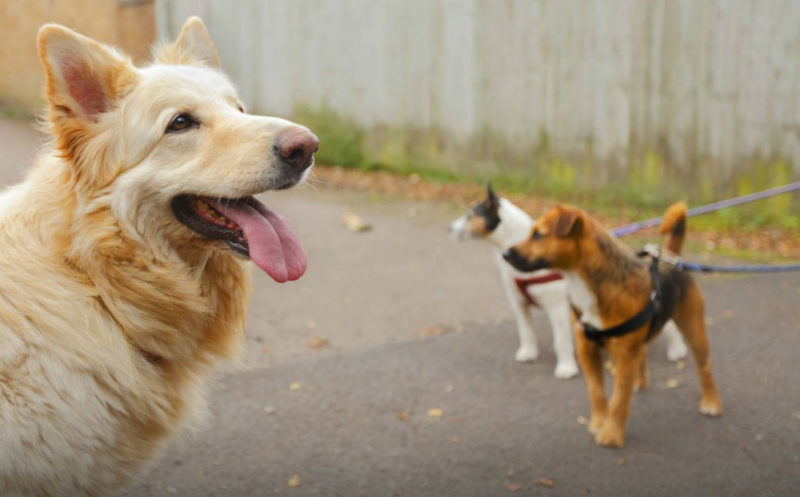 Прогулки во время течки у собаки