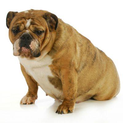 Симптомы и лечение ложной беременности у собаки