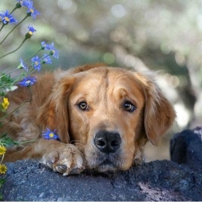 Кровепаразитарное заболевание или пироплазмоз у собак