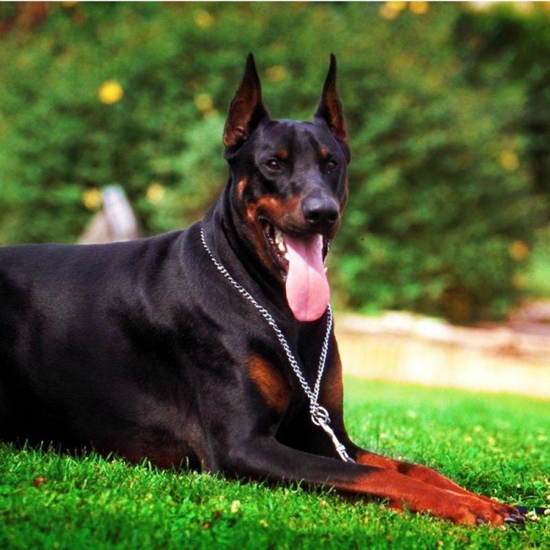 породы умных собак