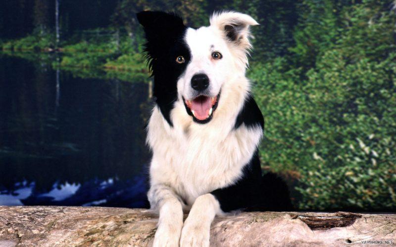 Чейсер — умнейшая собака с превосходной памятью и сообразительностью