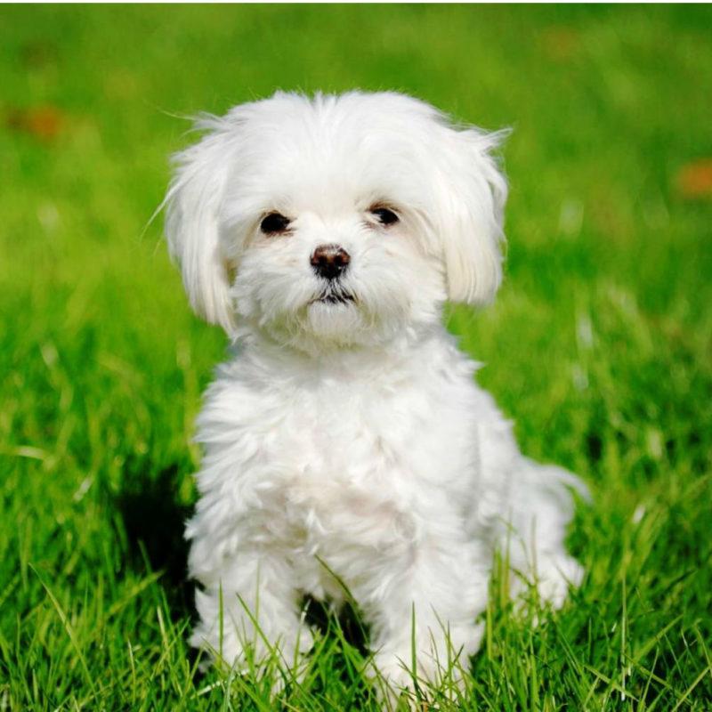 Рейтинг самых маленьких в мире собак