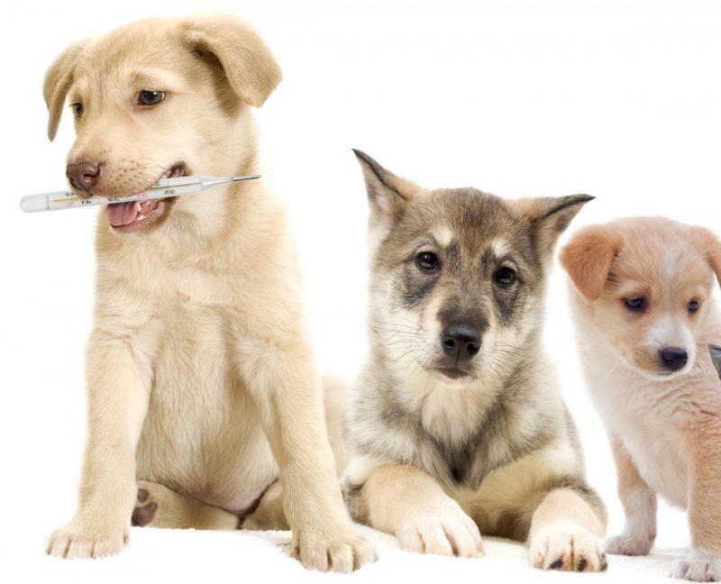 Зависимость температуры тела собаки от породы и размера