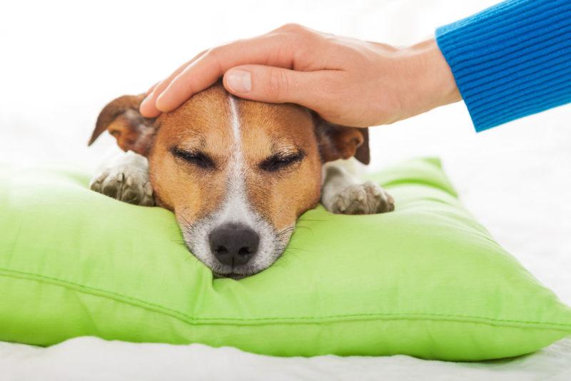 Методика измерения температуры у собак в домашних условиях
