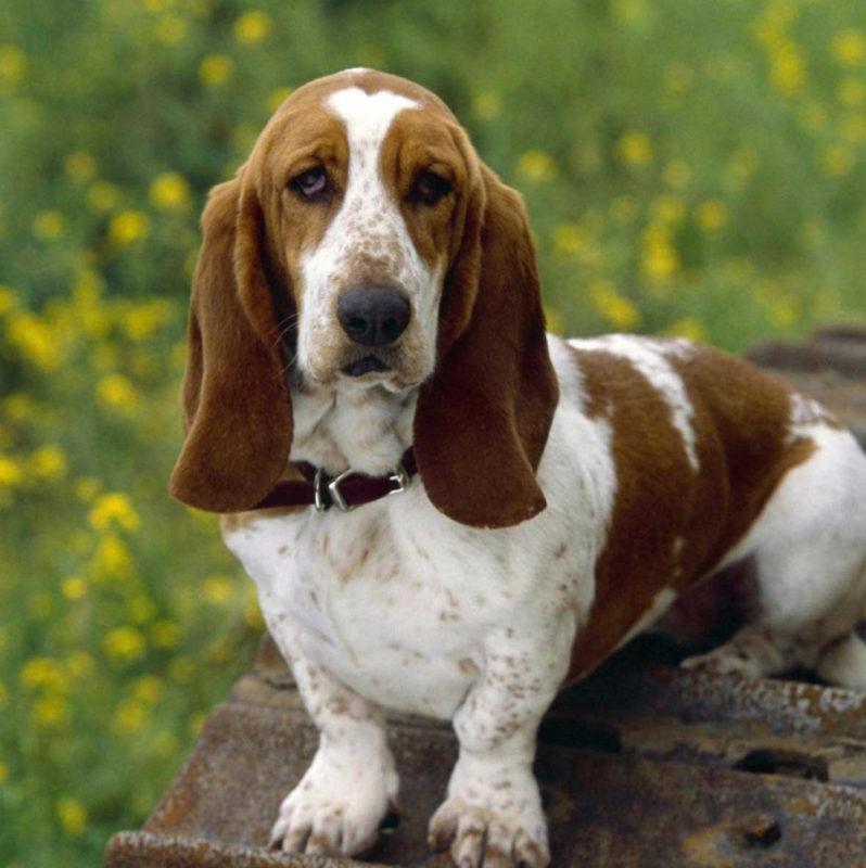 Определяем возраст собаки по человеческим меркам