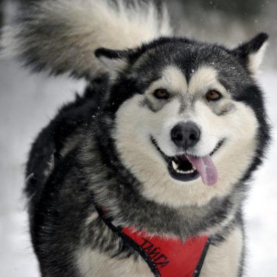 Африканская нелающая собака Басенджи: описание породы, особенности
