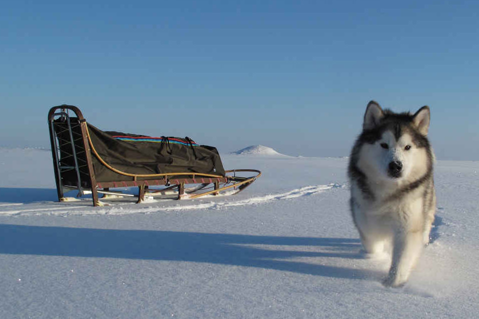 Аляскинский маламут: характеристика породы, содержание
