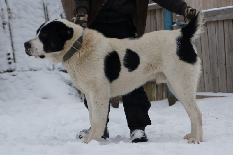 среднеазиатская овчарка сбоку