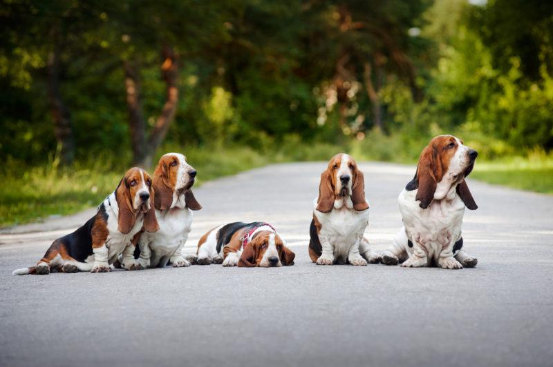 пять собак бассет-хаунд