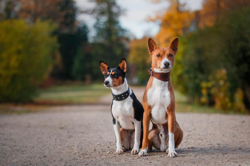 Собаки басенджи