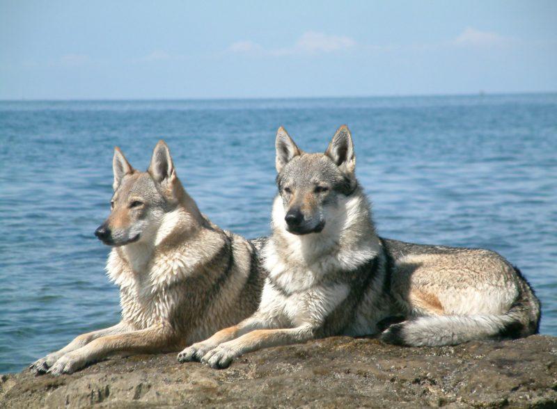 Чехословацкие влчаки