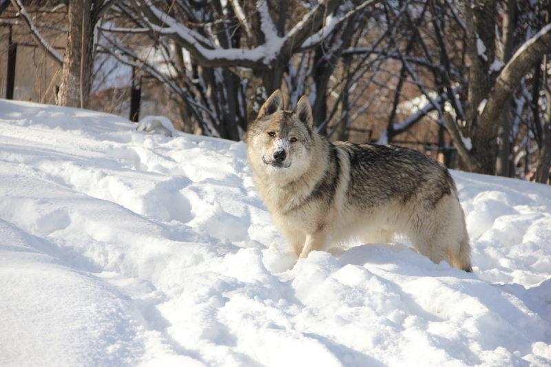 Чехословацкий влчак зимой