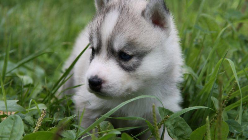 восточно-сибирская лайка щенок