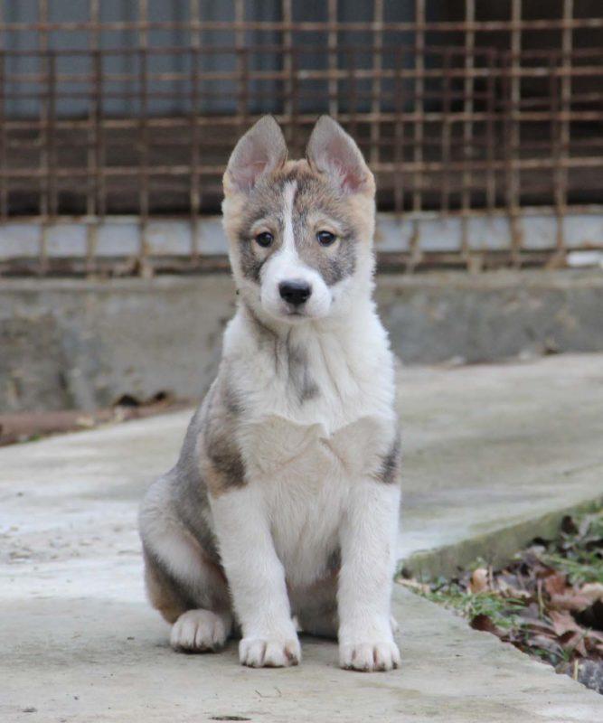 щенок западно-сибирской лайки