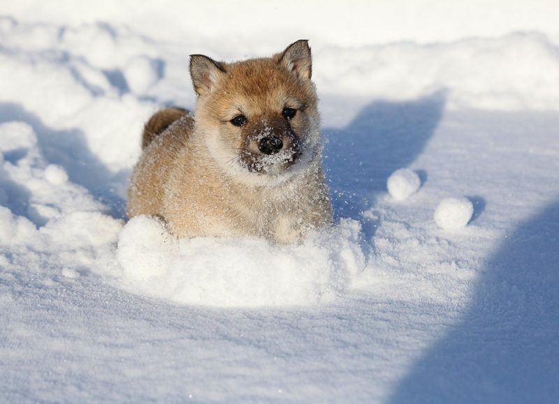 щенок западно-сибирской лайки бежит по снегу