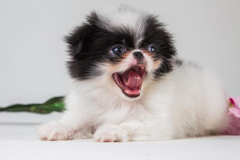щенок японского хина