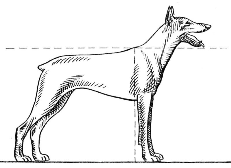 где у собаки холка - рисунок