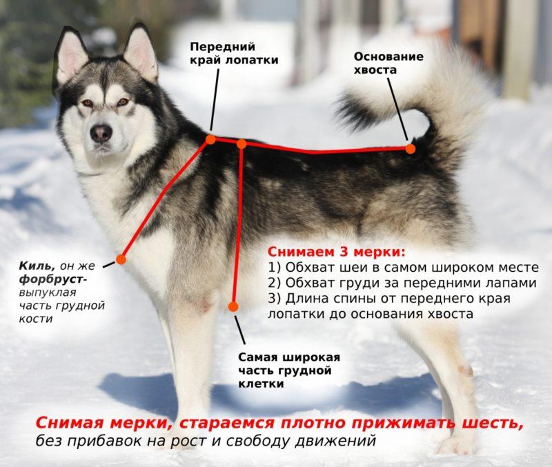 Мерки собаки для шлейки