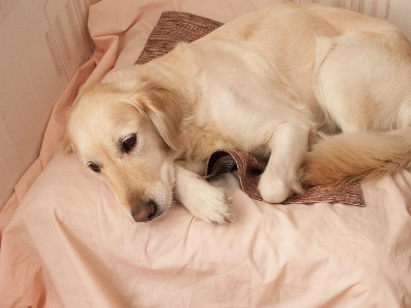 Поведение собаки перед родами