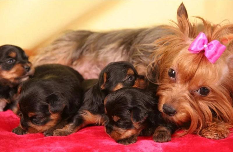 Йорк со щенками