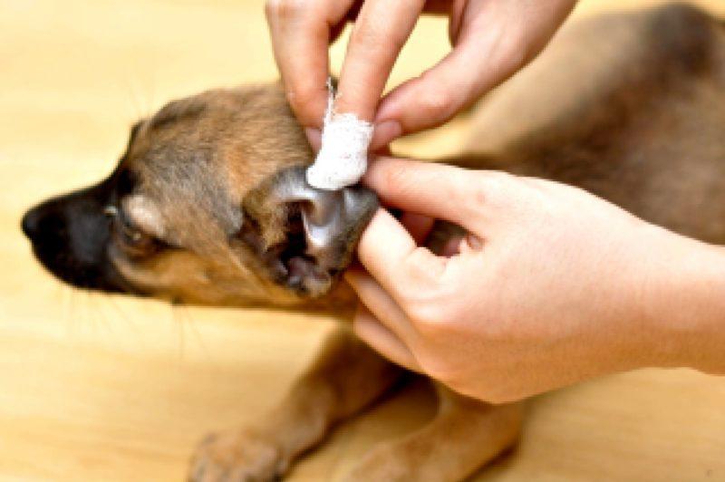 другие методы лечения ушного клеща