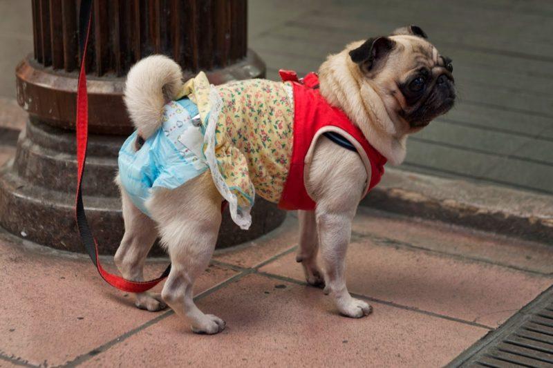 зачем собакам памперсы